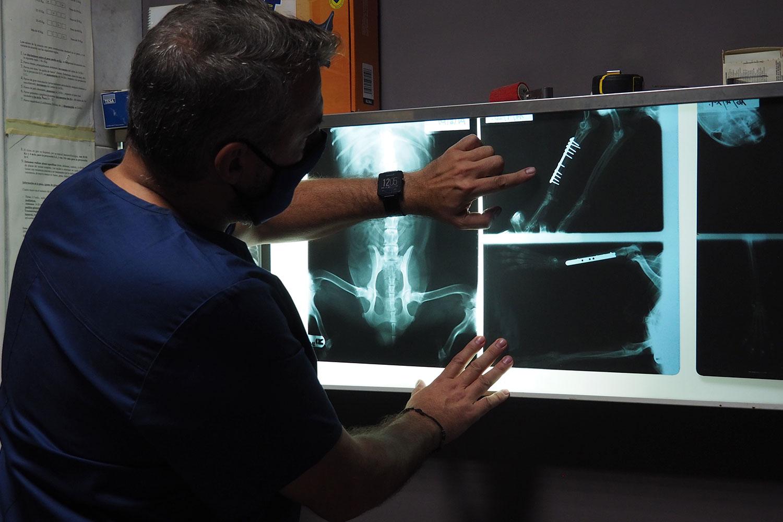 Veterinario-examinando-radiografia-hueso-gato