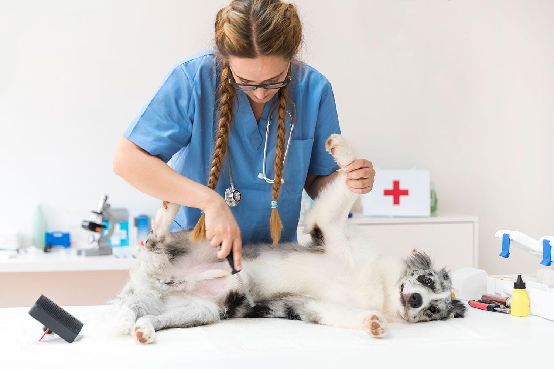 veterinaria-examinando-abdomen-perro