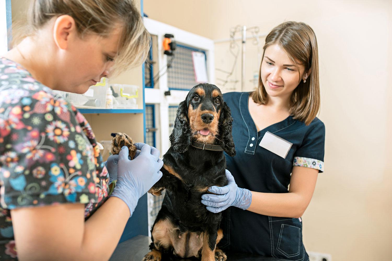veterinaria-y-auxiliar-examinando-pezuñas-perro-cocker