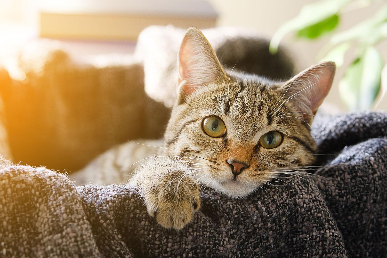 gato-atigrado-encima-manta