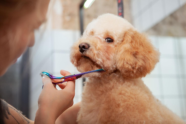 peluquera-canina-cortando-pelo-a-perro