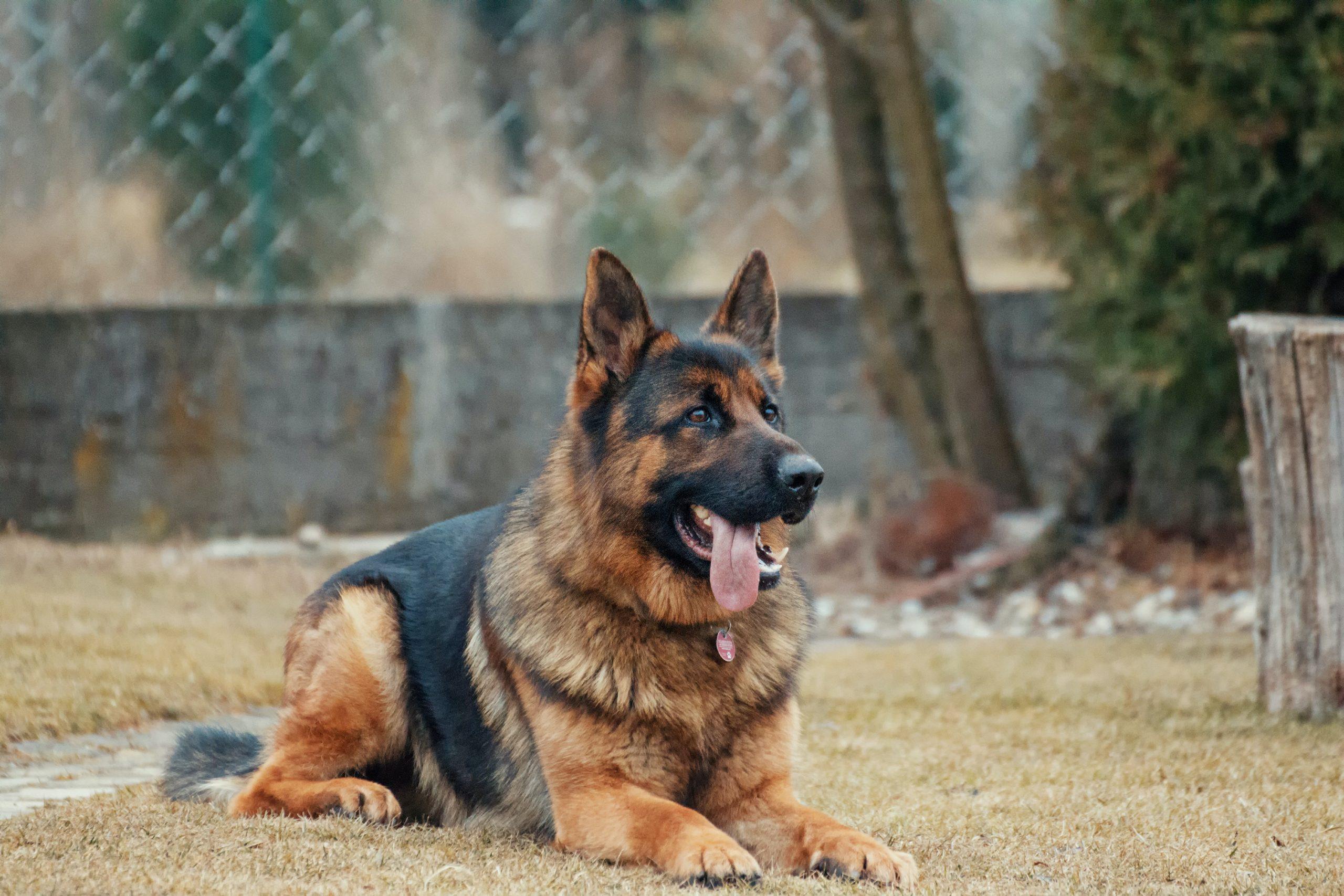 Tos De Les Gosseres (traqueobronquitis Infecciosa Canina)