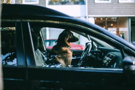 Mascota gos viatjant al volant de cotxe negre