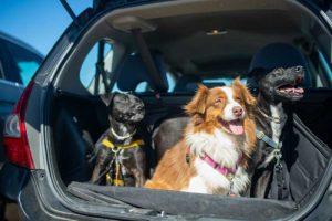Gossos dins maleter obert