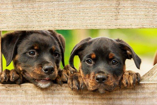 Cachorros de Rottweiler apoyados en una madera